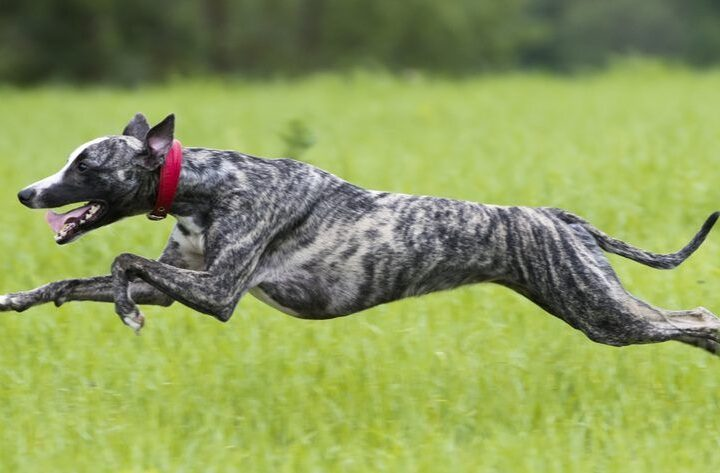 Know Everything About Greyhounds