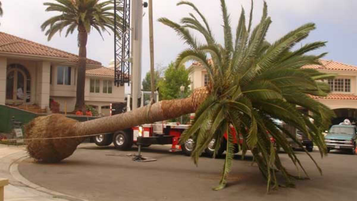 All About Palm Tree Removal in Sacramento