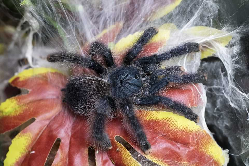 How to Keep and Care for Your Pink Toe Tarantulas as Pets